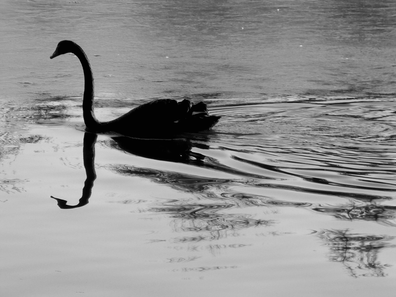 http://fondsecranwallpapers.free.fr/wallpaper-nature-et-animaux/img/images/wallpaper-animaux-cygne-noir-black.jpg