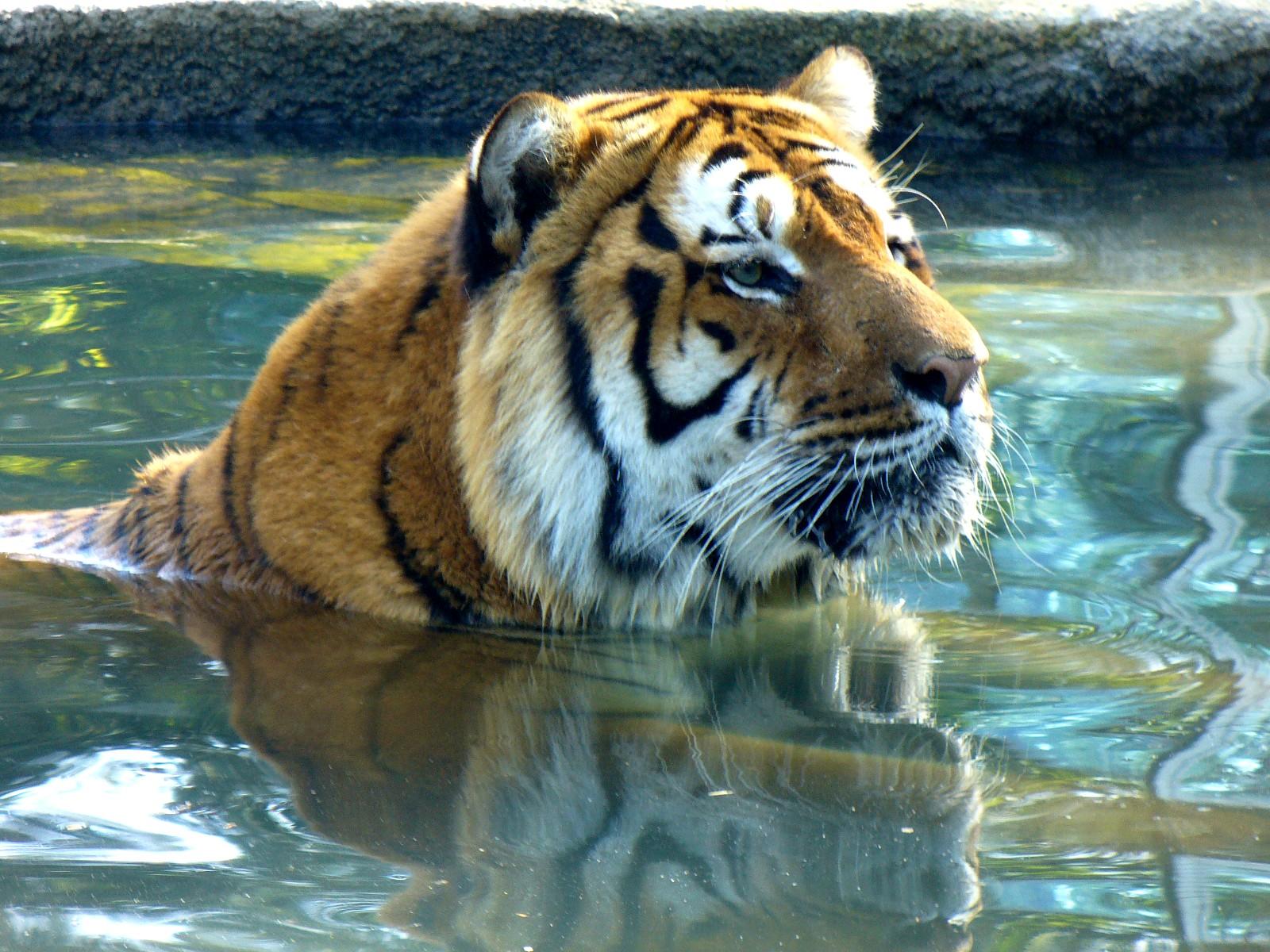 wallpaper-animaux-felin-tigre-nature